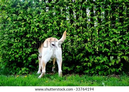 Gold labrador`s ass - stock photo