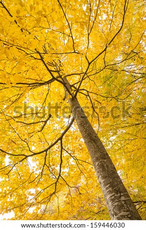 Gold larches in the fall bottom view - stock photo