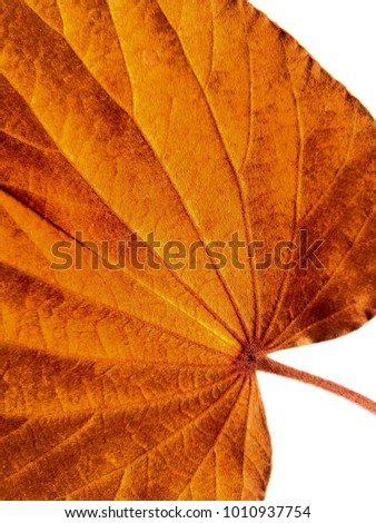 Gold leaf, Bauhinia aureifolia, isolated on white background.