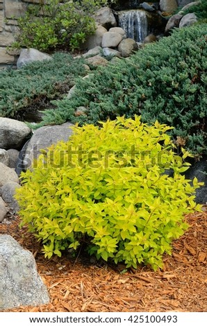 Gold Mound Spirea is a Compact, Mounded Deciduous Shrub