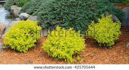 Gold Mound Spirea is a Compact, Mounded Deciduous Shrub  - stock photo