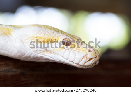 Gold Python in a zoo - stock photo