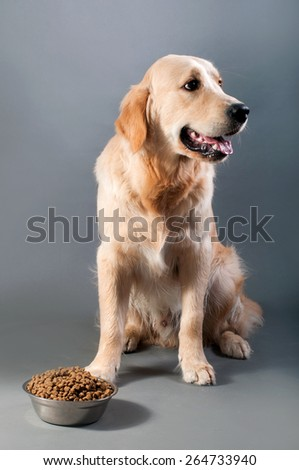 Gold retriever with food - stock photo