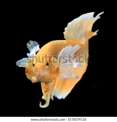 Gold siamese fighting fish, betta fish isolated on black background.