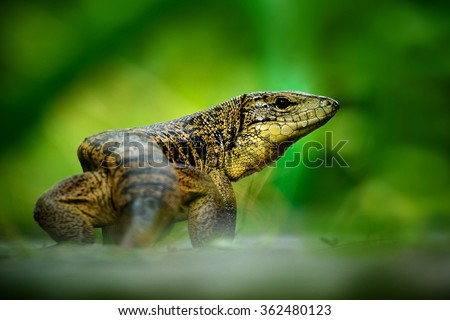 Gold tegu, Tupinambis teguixin, big reptile in the nature habitat, green exotic tropic animal in the green forest, Trinidad and Tobago