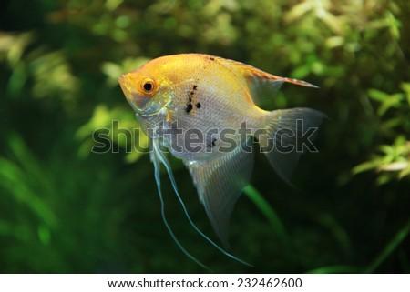 Gold Veil Angelfish in Aquarium - stock photo