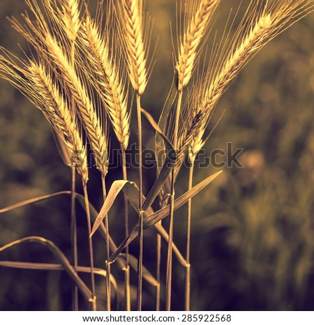 Gold wheat ears on the field closeup - agricultural landscape with soft light effect. Golden wheat with bokeh blur at sunrise. Organic farmland - cereal plants at sunset in soft focus. - stock photo