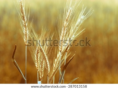 Gold wheat ears on the field closeup with backlit effect. Golden wheat with bokeh blur at sunrise. Organic farmland - cereal plants at sunset in soft focus. - stock photo