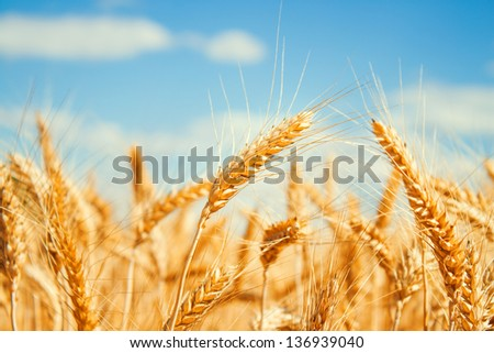 Gold wheat field and blue sky - stock photo