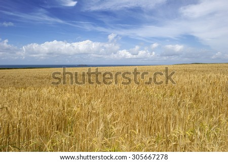 Gold wheat field with blue sky and ocean