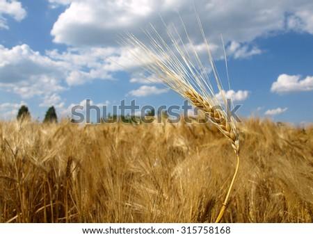gold yellow wheat - stock photo