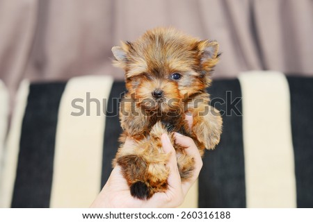 Gold Yorkshire Terrier - stock photo