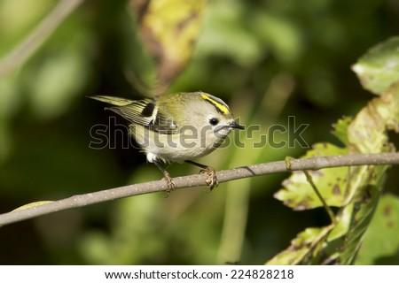goldcrest in natural habitat  / Regulus regulus - stock photo