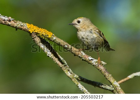 Goldcrest on the branch