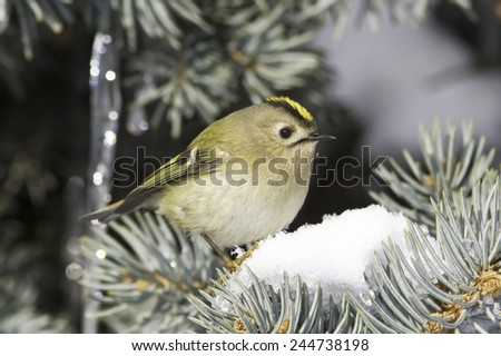 goldcrest / Regulus regulus in natural habitat - stock photo