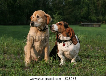 golden and basset hound sitting next to each other
