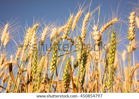 Golden and green wheat field against a blue sky