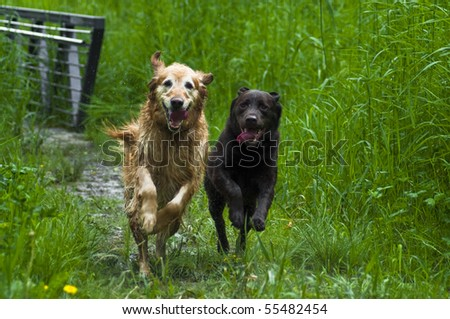 Golden and Labrador Retriever running through trail in tall grass. Very happy dogs racing together outside on a sunny day.