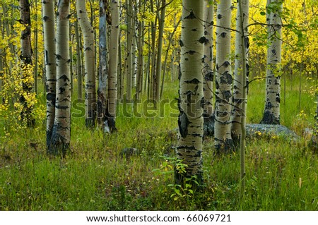 Golden Aspen Forest - stock photo