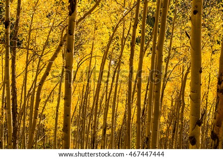 Golden Aspen Groves