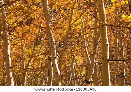 golden aspen trees and trunks in the fall