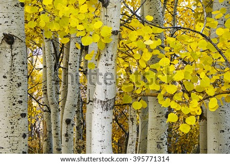 Golden aspens at autumn - stock photo