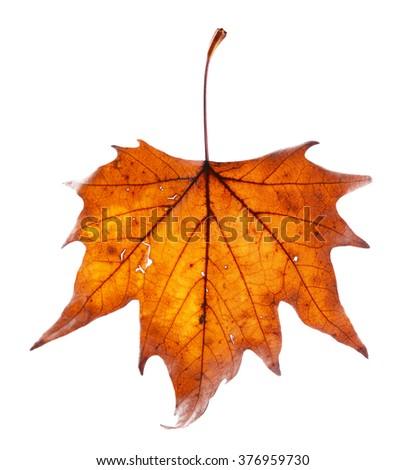 Golden autumn leaf isolated on white background - stock photo