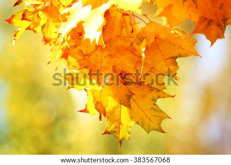 Golden autumn leaves, close up - stock photo