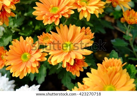 Golden Autumn Mum or Chrysanthemum flowers blooming in garden