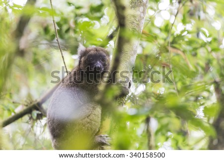 Golden bamboo lemur lying on a tree in Madagascar