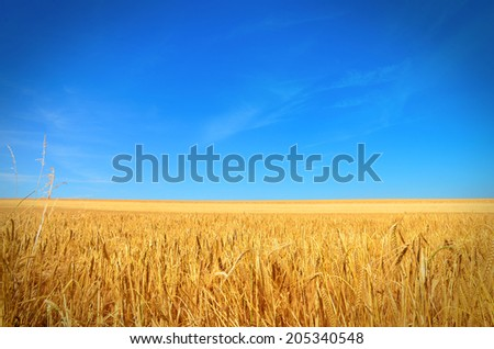 Golden barley against blue sky