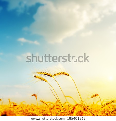 golden barley and sunset. soft focus - stock photo