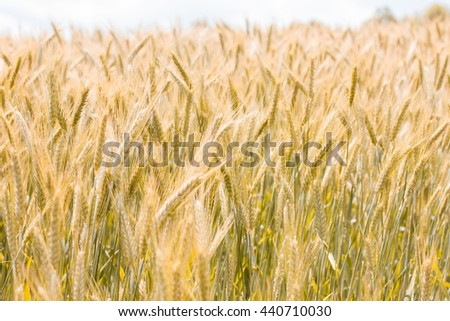 Golden barley fields at summer sunny day.