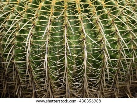 Golden Barrel Cactus Plant background - stock photo