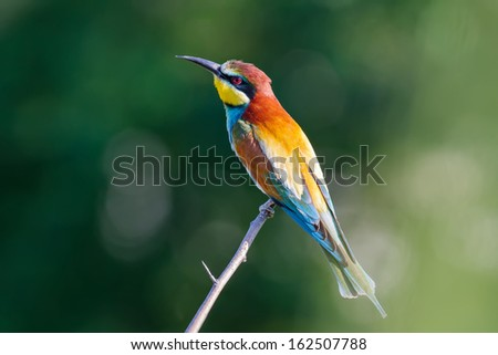 Golden bee-eater on a branch. Merops apiaster. - stock photo