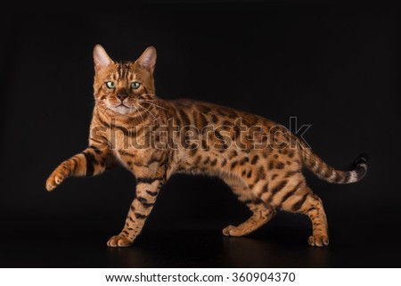Golden Bengal cat on a black background isolated - stock photo