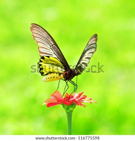 Golden Birdwing Butterfly insect sucking Zinnia flower nectar - stock photo