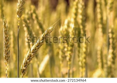 Golden bread wheat field grain macro closeup - stock photo