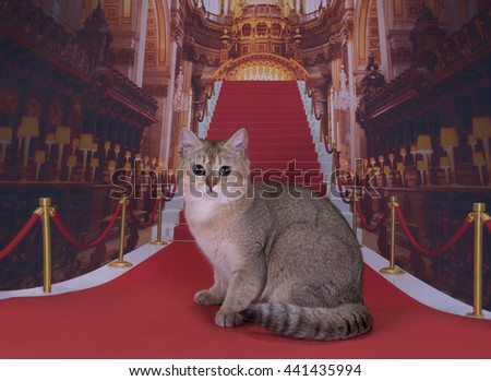 Golden British cat on the red carpet