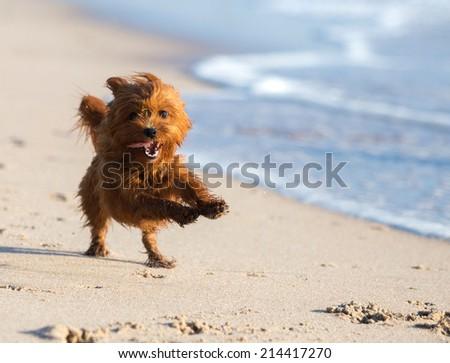 Golden Brown Terrier Dog running at the beach - stock photo