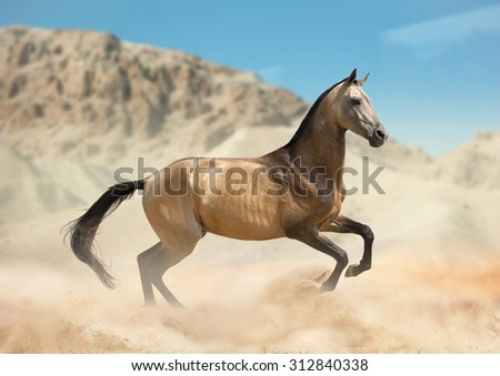Golden buckskin akhal-teke horse running in desert - stock photo