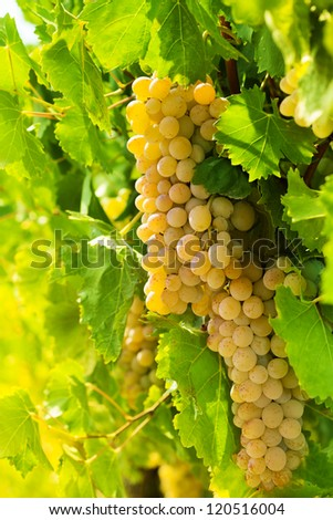 Golden bunches of ripe grape hanging in vineyard - stock photo