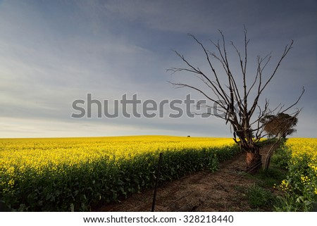 Golden canola flowering in rural farmland and an old tree grows out of a rusty tin barrel. - stock photo