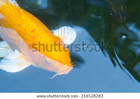 Golden carp in the pond.