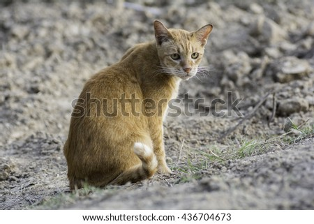 Golden cat sitting on the ground and staring at something .And Evening Sun