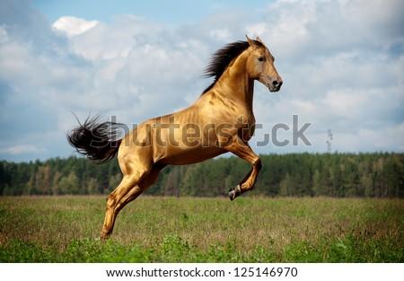 golden chestnut horse in action - stock photo