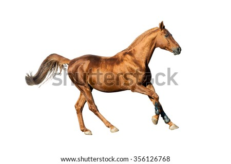 Golden chestnut stallion isolated over a white background - stock photo