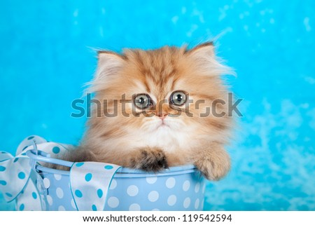 Golden Chinchilla Persian kitten sitting in blue gift box on blue fake fur background - stock photo