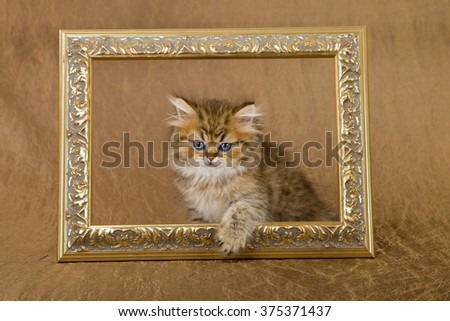 Golden Chinchilla Persian kitten stepping through ornate gold picture frame against bronze gold background