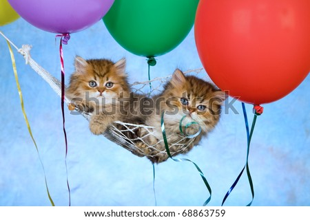 Golden Chinchilla Persian kittens lying in hammock with colorful balloons